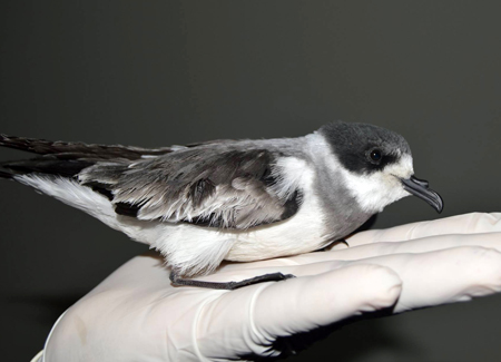 Video – Article on the Ringed Storm-Petrel