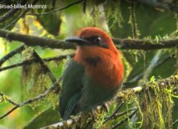 Broad-billed Motmot – Beautiful Birds Blog