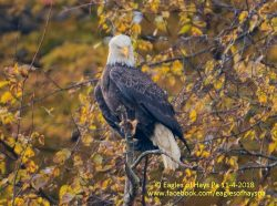 Autumn Eagle Update | Outside My Window