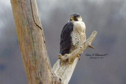 New Peregrine Identified at Harmar