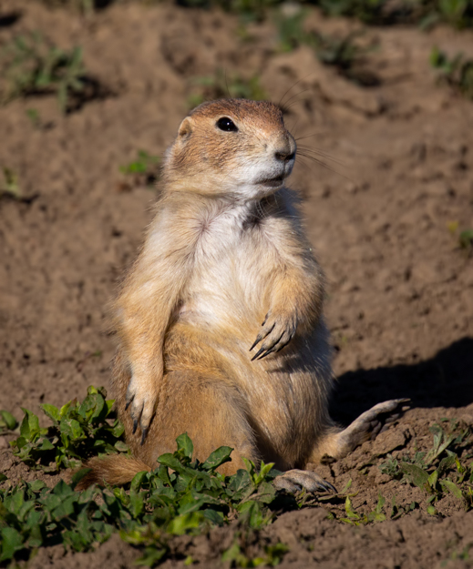 Prairie Dog, Theodore Roosevelt National Park