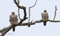 Peregrines Are Pairing Up | Outside My Window