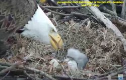 First Hatch at Hays Bald Eagle Nest, March 23