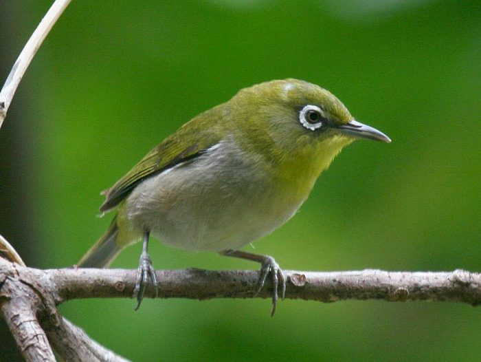 Versatile White-Eyes | Outside My Window