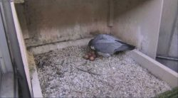 Peregrine Update, 26 March | Outside My Window