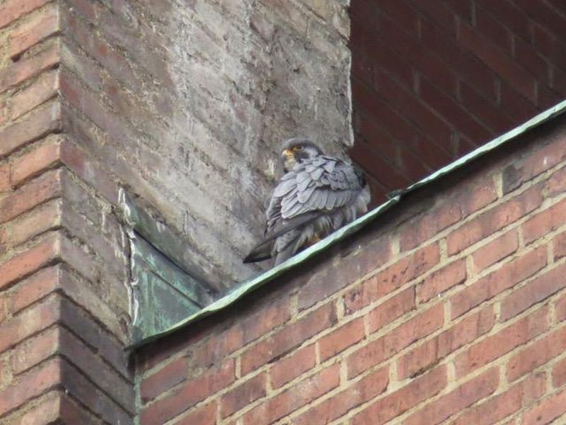 News of Downtown Pittsburgh's Peregrines