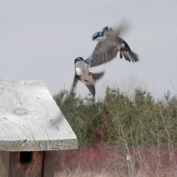 Tree Swallows Soon | Outside My Window