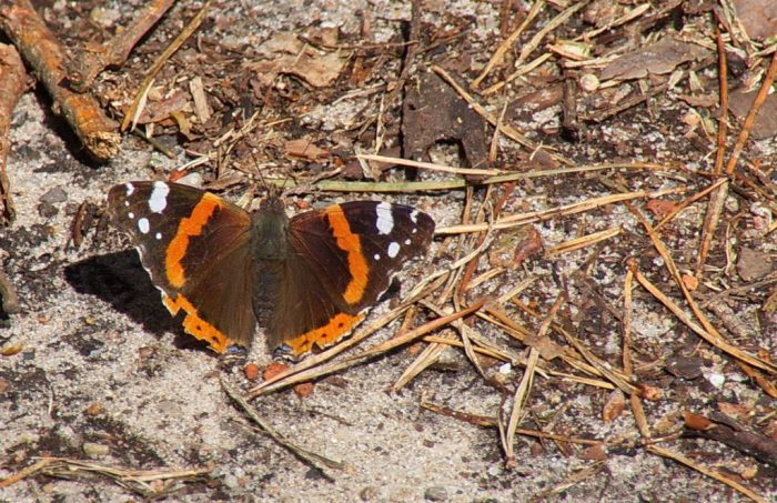 Red Admirals' Mass Migration | Outside My Window