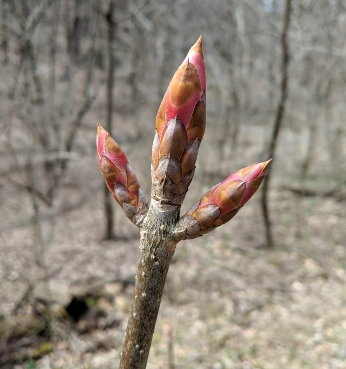 Buds About To Burst | Outside My Window