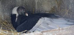 Andean Condors Nest on Camera