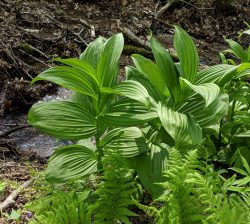 False Hellebore: Pretty And Poisonous