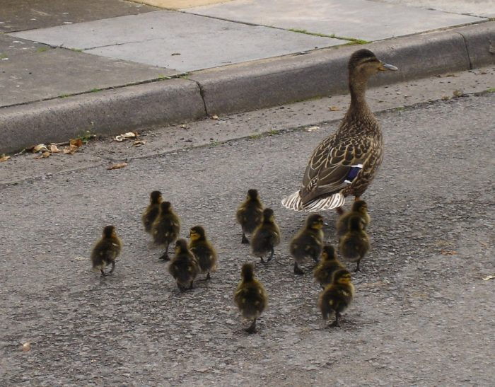 Make Way For Ducklings | Outside My Window