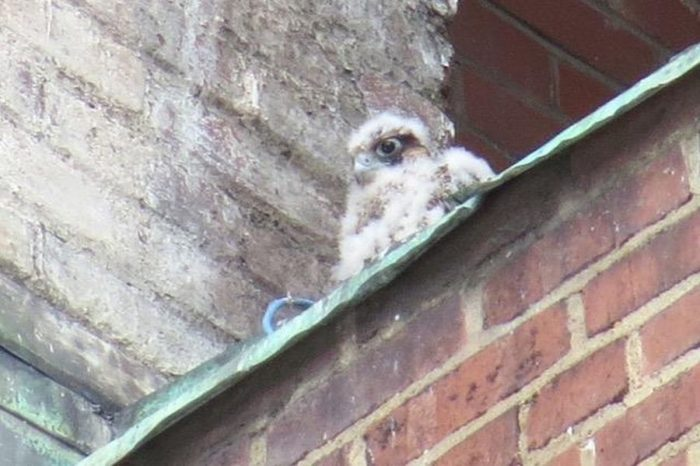 Young Peregrines Seen: Downtown and Pitt