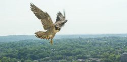 When Peregrines Get Agitated | Outside My Window