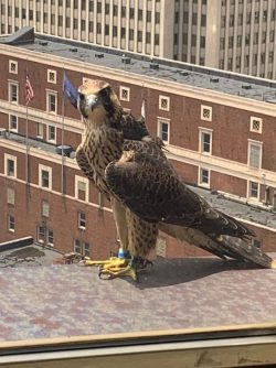 Downtown Peregrine News, June 28