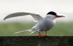 Arctic Terns Have Short Legs