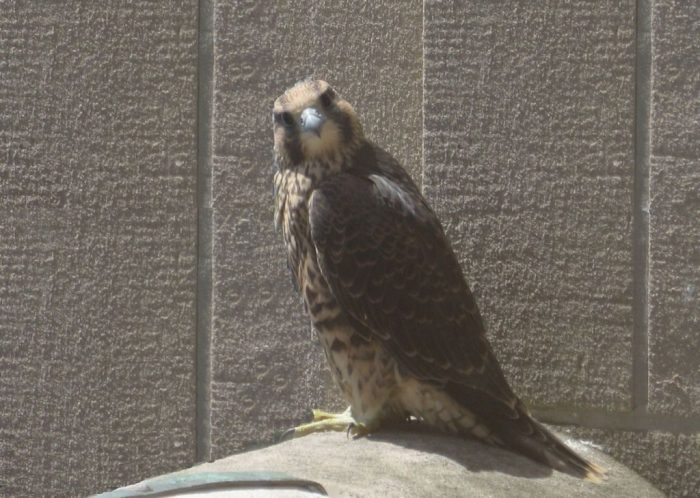 Help The PA Peregrine Tracking Study