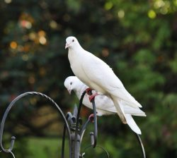 White Doves At The Feeder