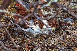 Ptarmigans Change With The Seasons