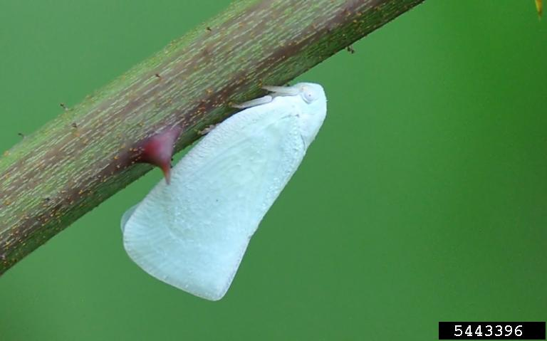 Bug Wearing a White Cape