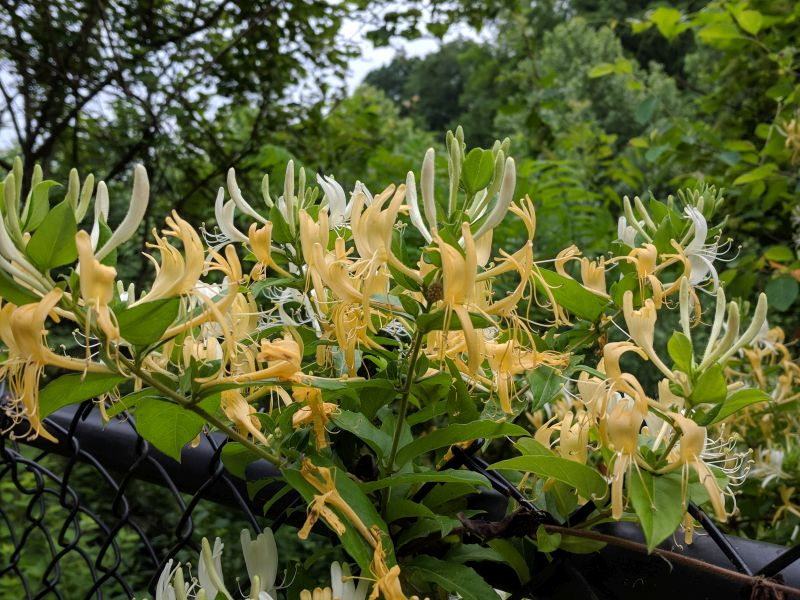 Honeysuckle flowers, yellow and white, 31 May 2018 (photo by Kate St. John)