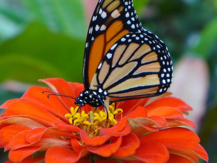 Captive-Raised Monarchs Fail To Migrate