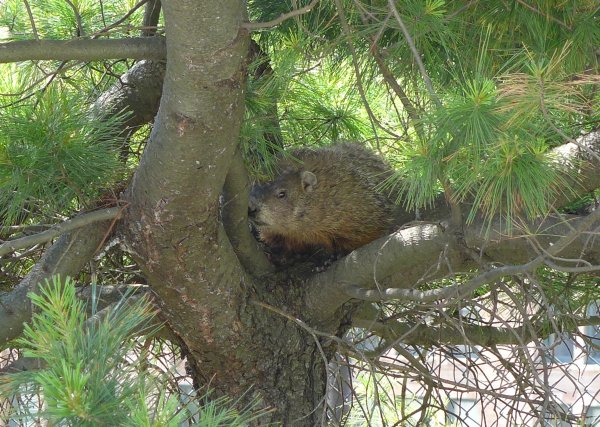 Groundhog in a tree at Flag Plaza, 31 May 2014 (photo by Kate St.John)