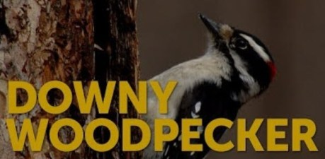 Downy Woodpecker - image from American Bird Conservancy