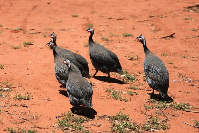 Guineafowl At Work | Outside My Window
