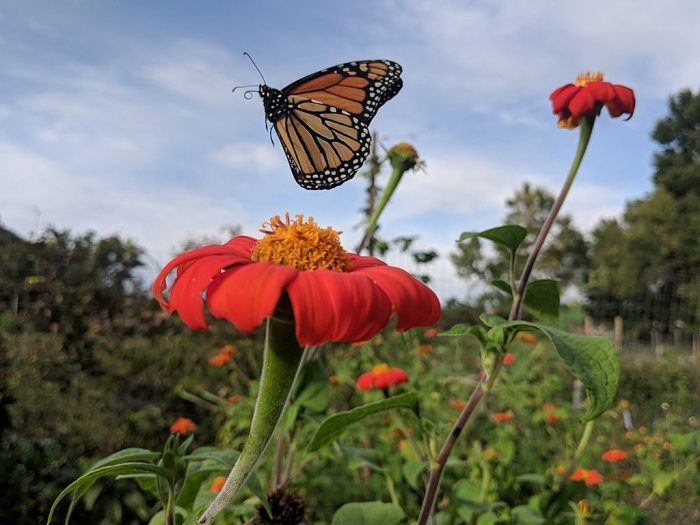 Monarchs On The Move   Outside My Window
