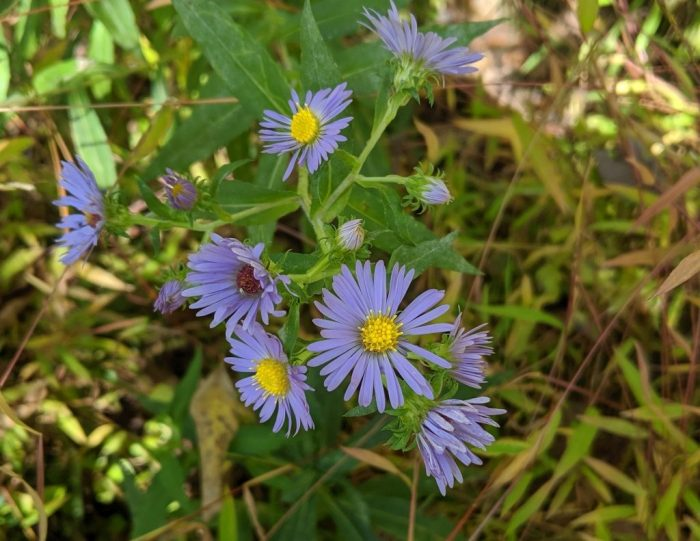 Confusing Fall Asters | Outside My Window