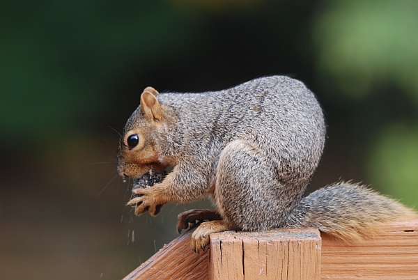 Fox squirrel making the sawdust fly as he opens a black walnut (photo by Donna Foyle)