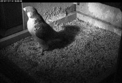 New Peregrine Visits The Nest