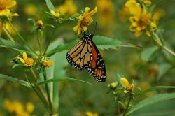 Monarchs Still Migrating Through Pittsburgh