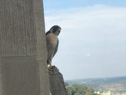 New Peregrine At Cathedral of Learning