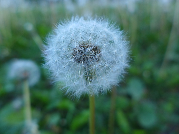 Dandelion fluff (photo by Kate St. John)