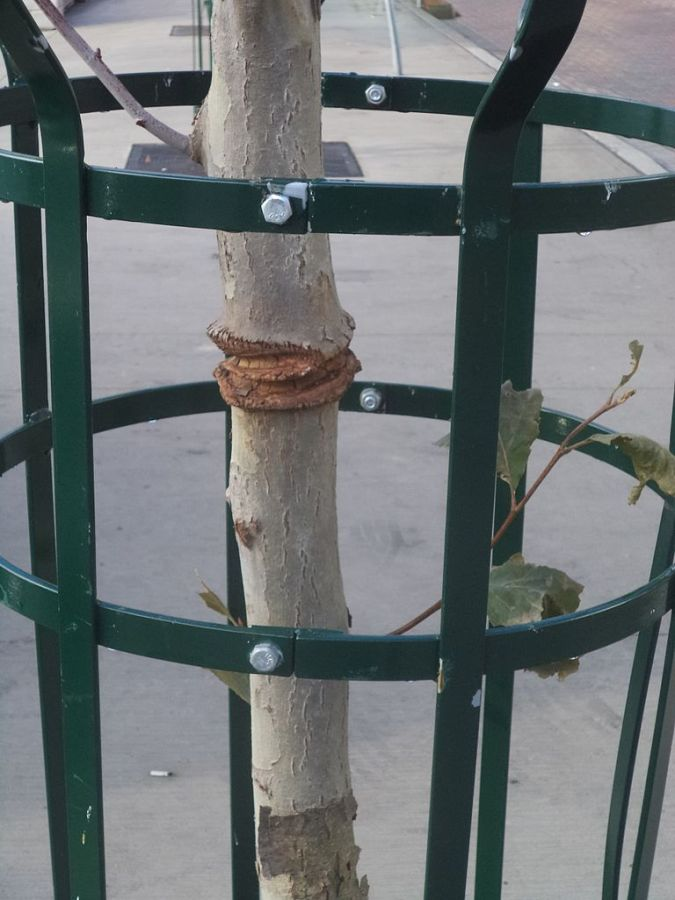 Normally, Don't Stake That Tree