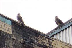 MOTUS Peregrines On The Move