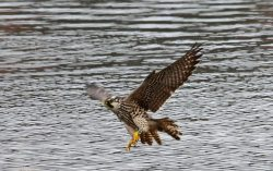 Young Peregrine Flies By Duck Hollow