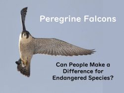 Peregrines: A Hopeful Story, Dec 12