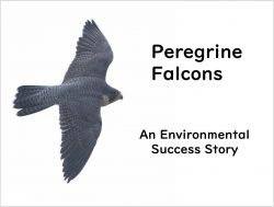 Peregrine Success Story, Feb 4