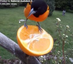 Video – Fruit Snack for Birds
