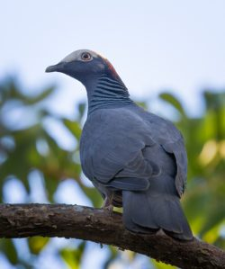 Ding Darling Surprise – A White-Crowned Pigeon