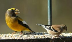 Evening Grosbeaks! | Outside My Window