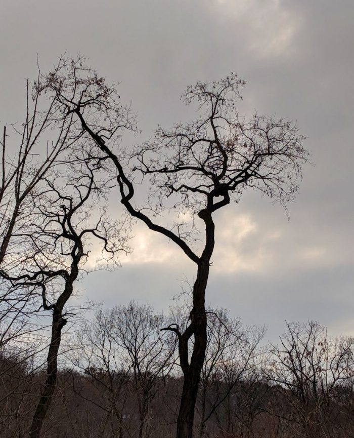The Shapes of Trees: Black Locust