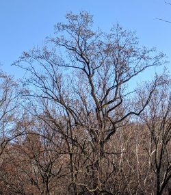 The Shapes of Trees: Tuliptree