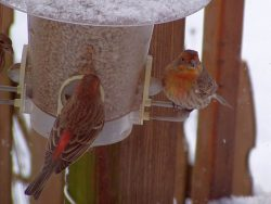 Orange House Finch | Outside My Window