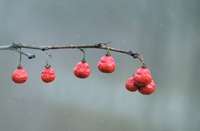 Photography – Creative Post Processing Idea for Winter Berries – Martin Belan