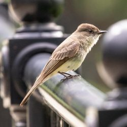 Identifying Bird Song: You Know More Than You Think