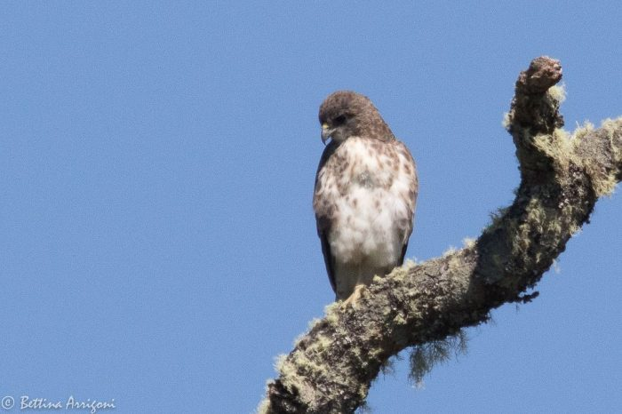 Hawaii's Only Native Hawk | Outside My Window